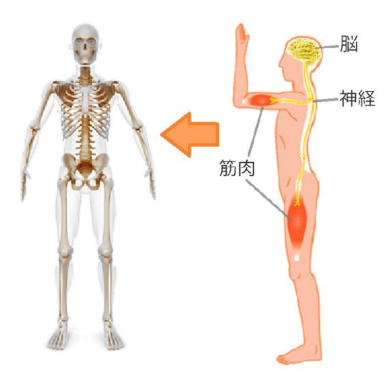 神経が筋肉をうごかし、筋肉が骨をうごかします