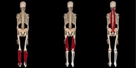 別々の筋肉