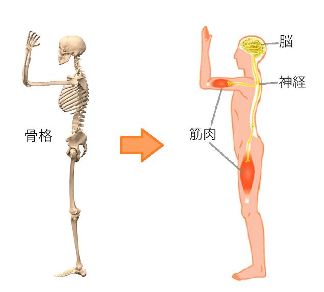 骨格の調整